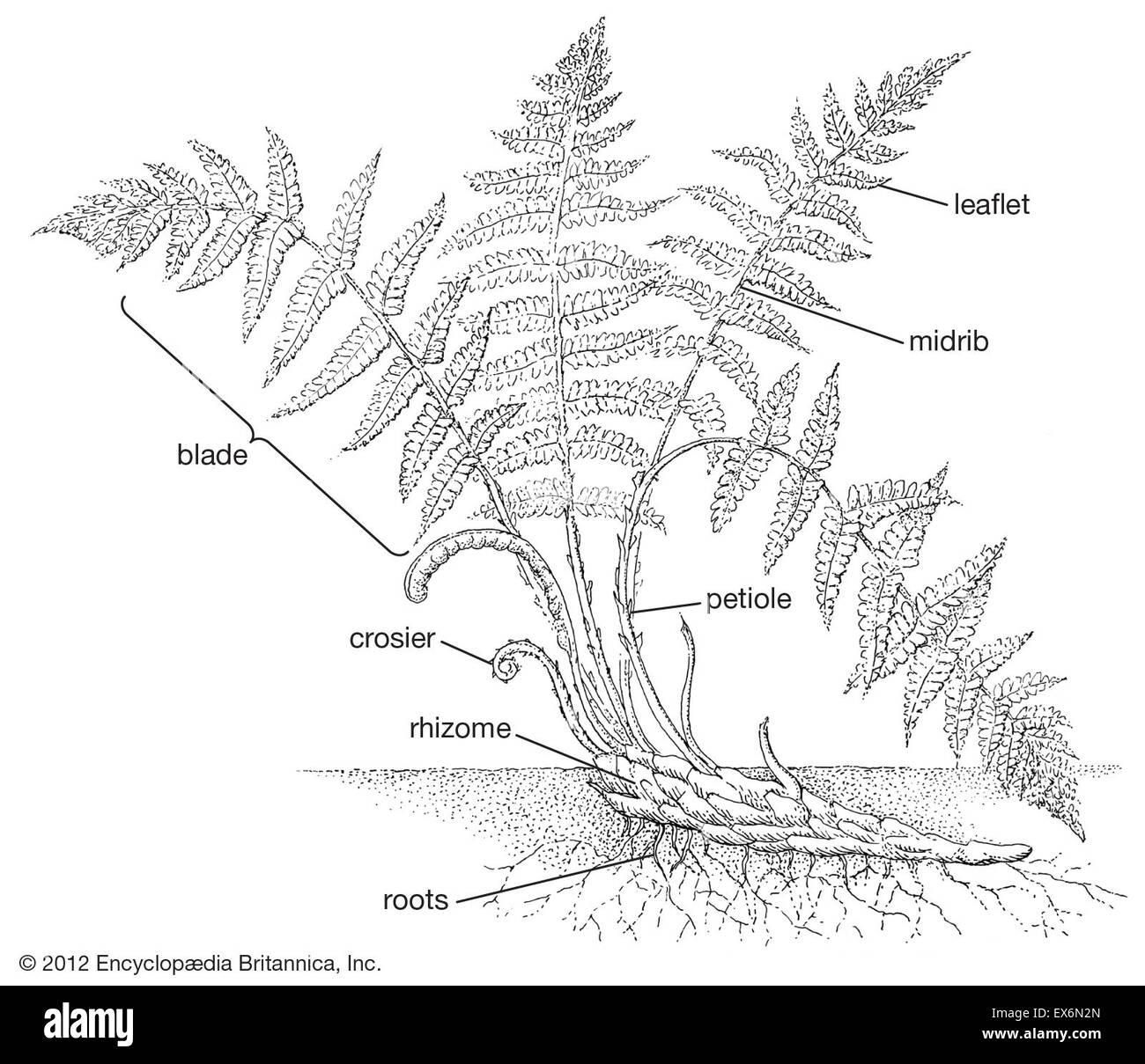 Generalized Fern Sporophyte Anatomy Stock Photo 84970781 Alamy