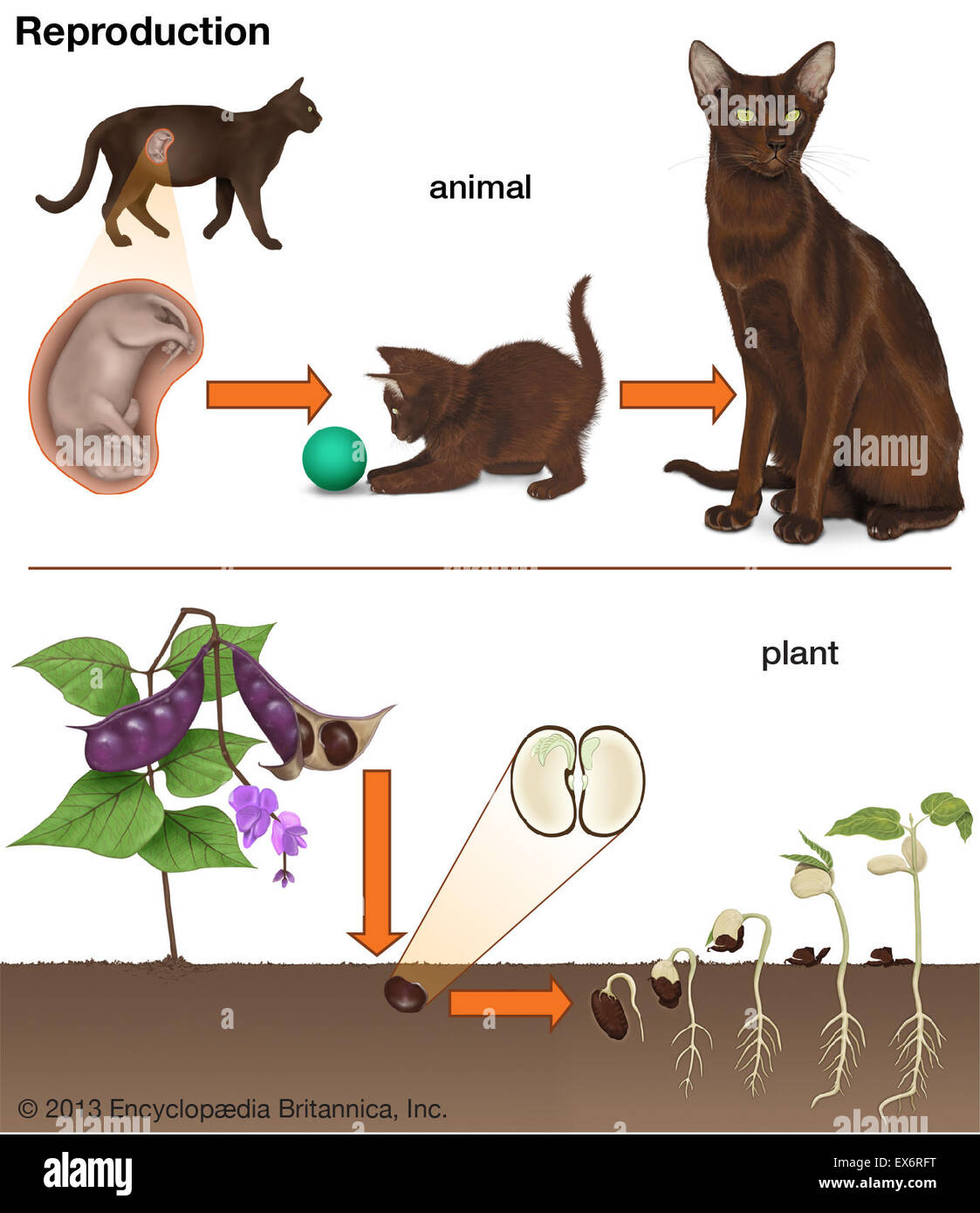 Animal and plant reproduction - Stock Image