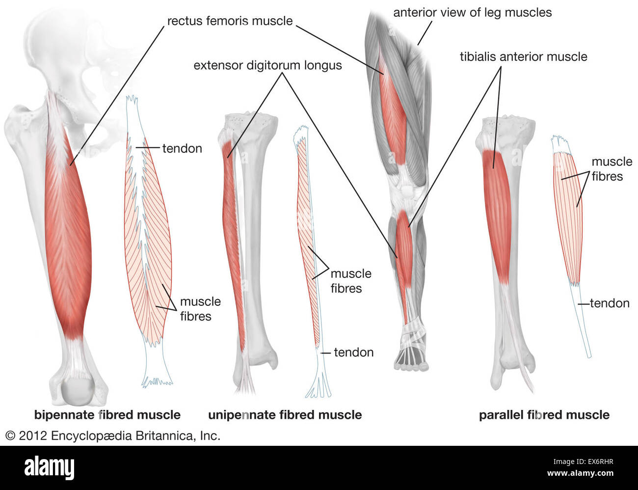 anterior view of human leg muscles stock photo: 84972771 - alamy