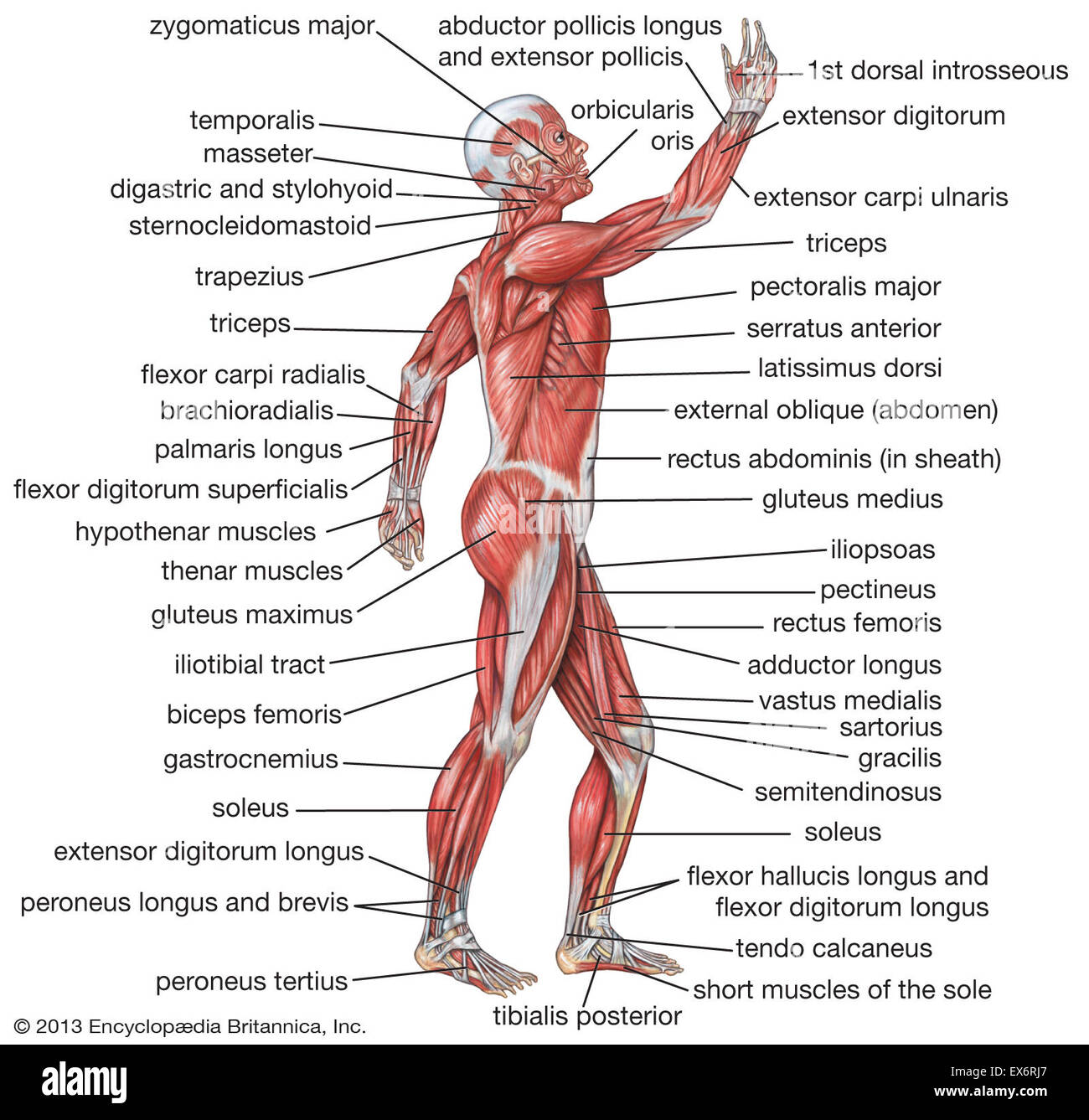 Lateral View Of The Human Muscular System Stock Photo 84972783 Alamy