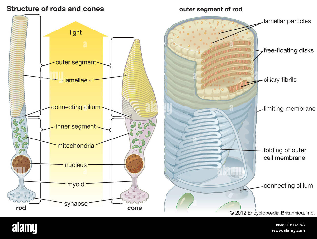 Structures Of Rods And Cones Stock Photo 84973003 Alamy