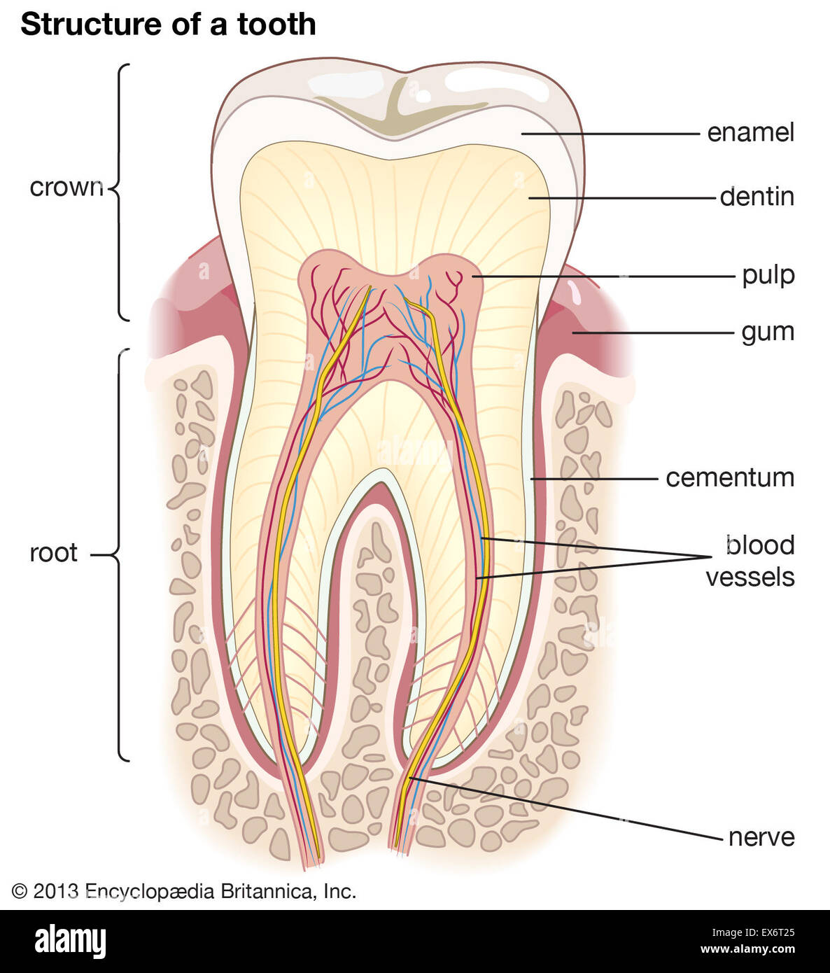 Human Tooth Structure Stock Photos & Human Tooth Structure Stock ...