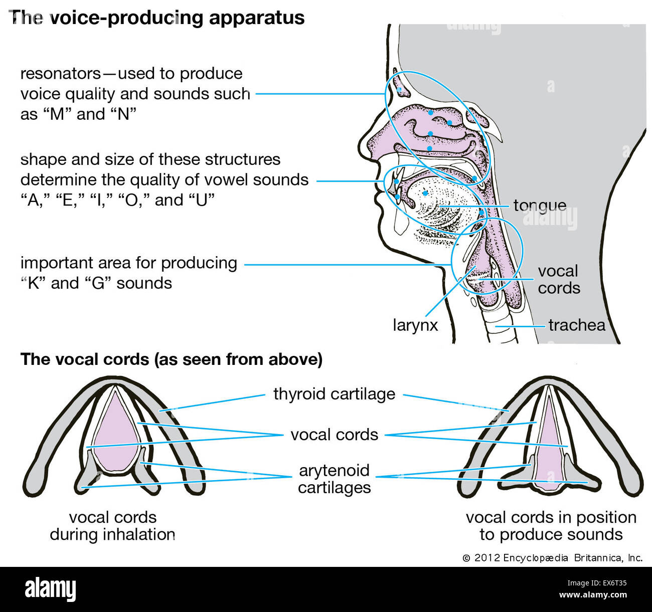 Human Vocal Cords Stock Photos & Human Vocal Cords Stock Images - Alamy