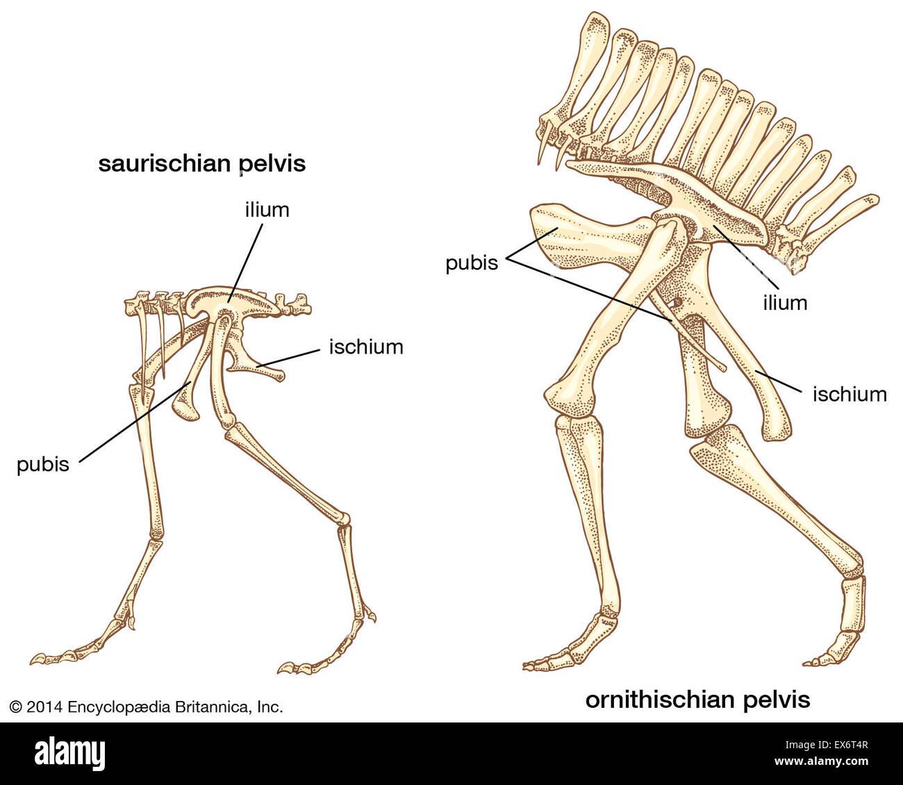 Dinosaur pelvic structures - Stock Image