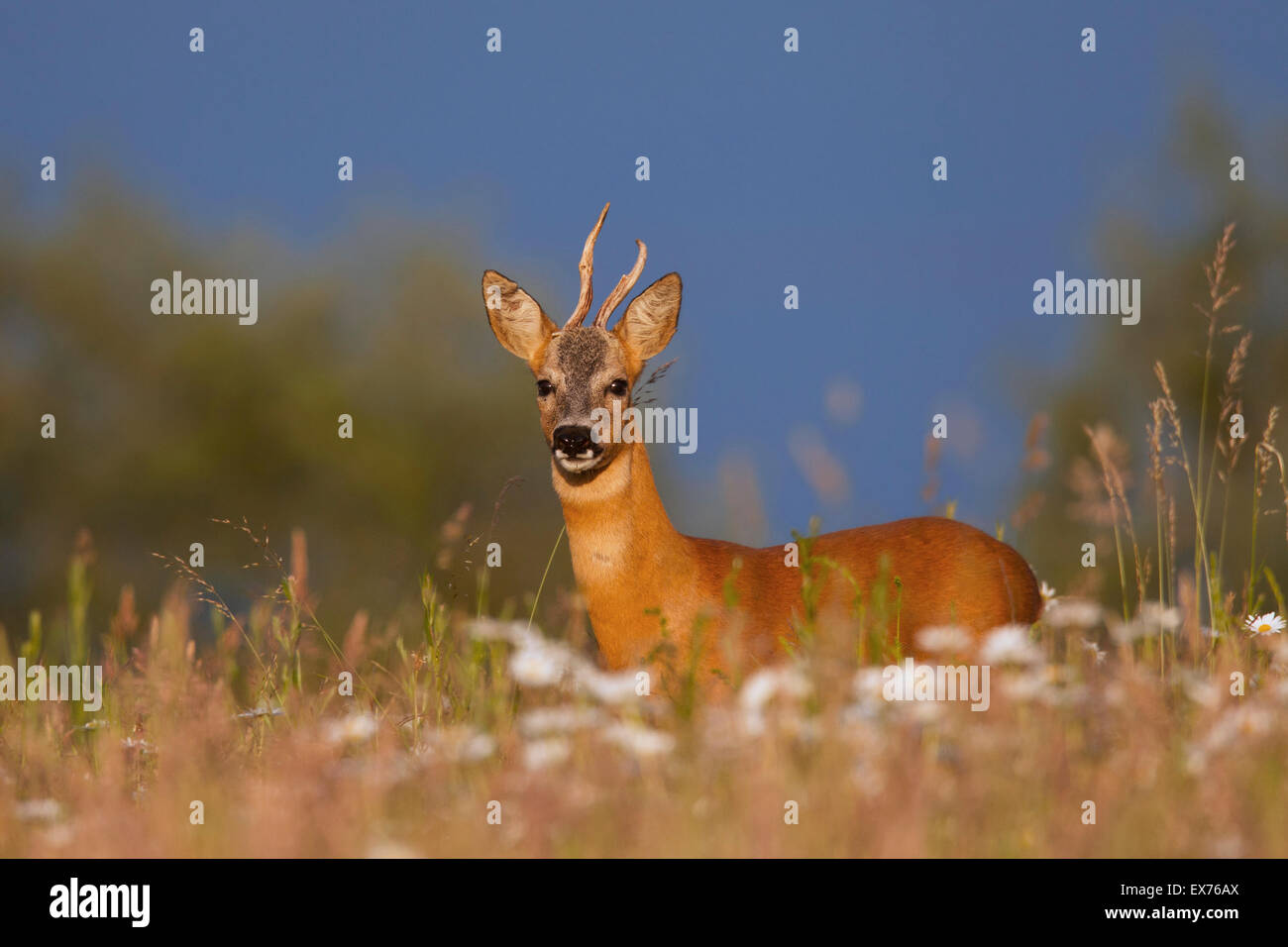 Roe deer (Capreolus capreolus) roebuck with deformed antlers in meadow in summer - Stock Image
