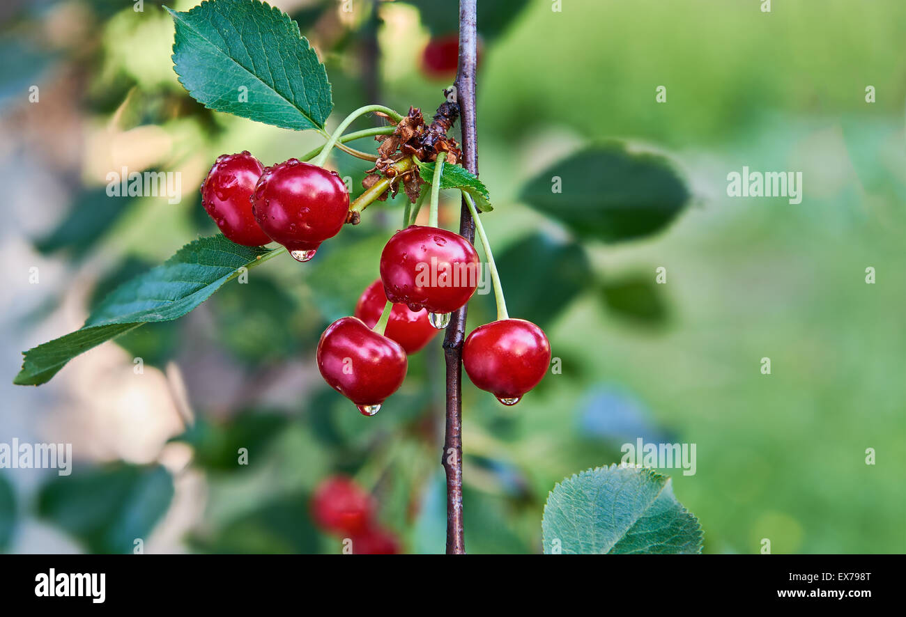 Cherry Twig After Rain - Stock Image