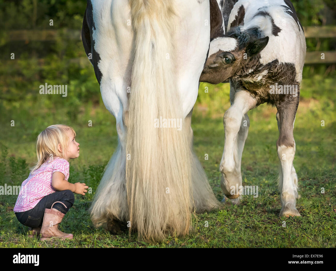 18 month old toddler peering under mares stomach at teats while foal nurses - Stock Image