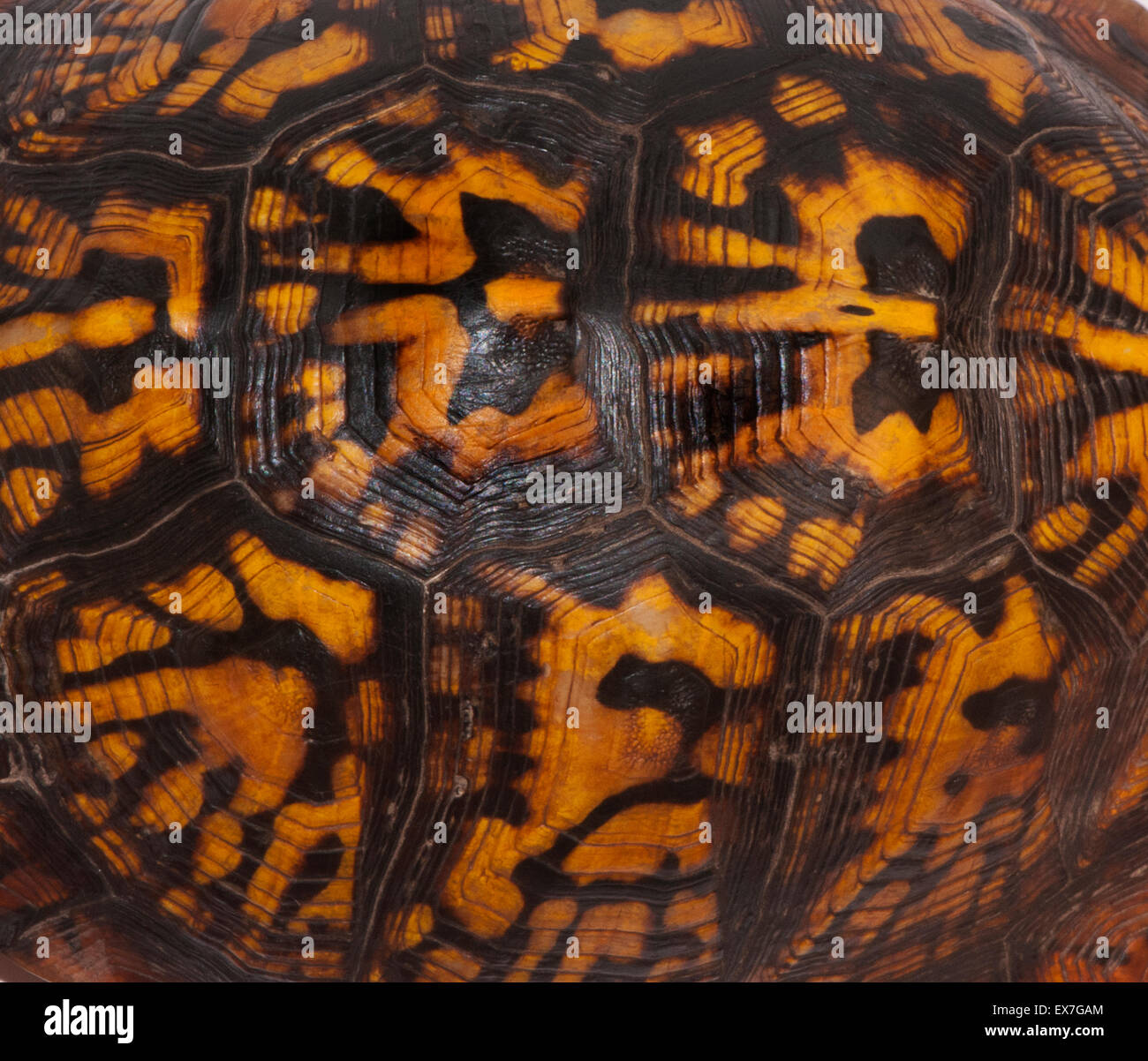 Turtle Shell Stock Photos & Turtle Shell Stock Images - Alamy