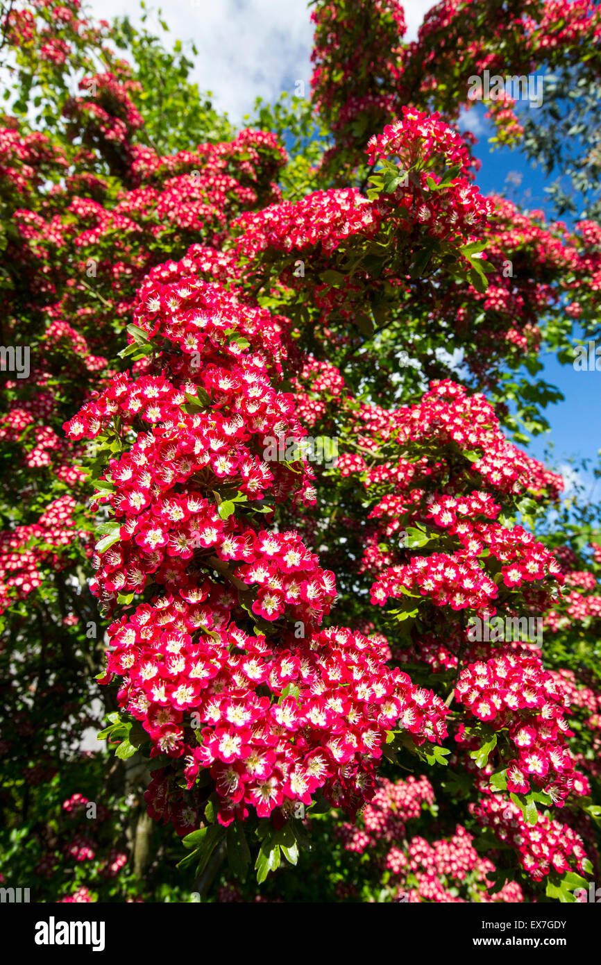 A Midland Hawthorn tree, Crataegus laevigata in blossom, Ambleside, UK. - Stock Image