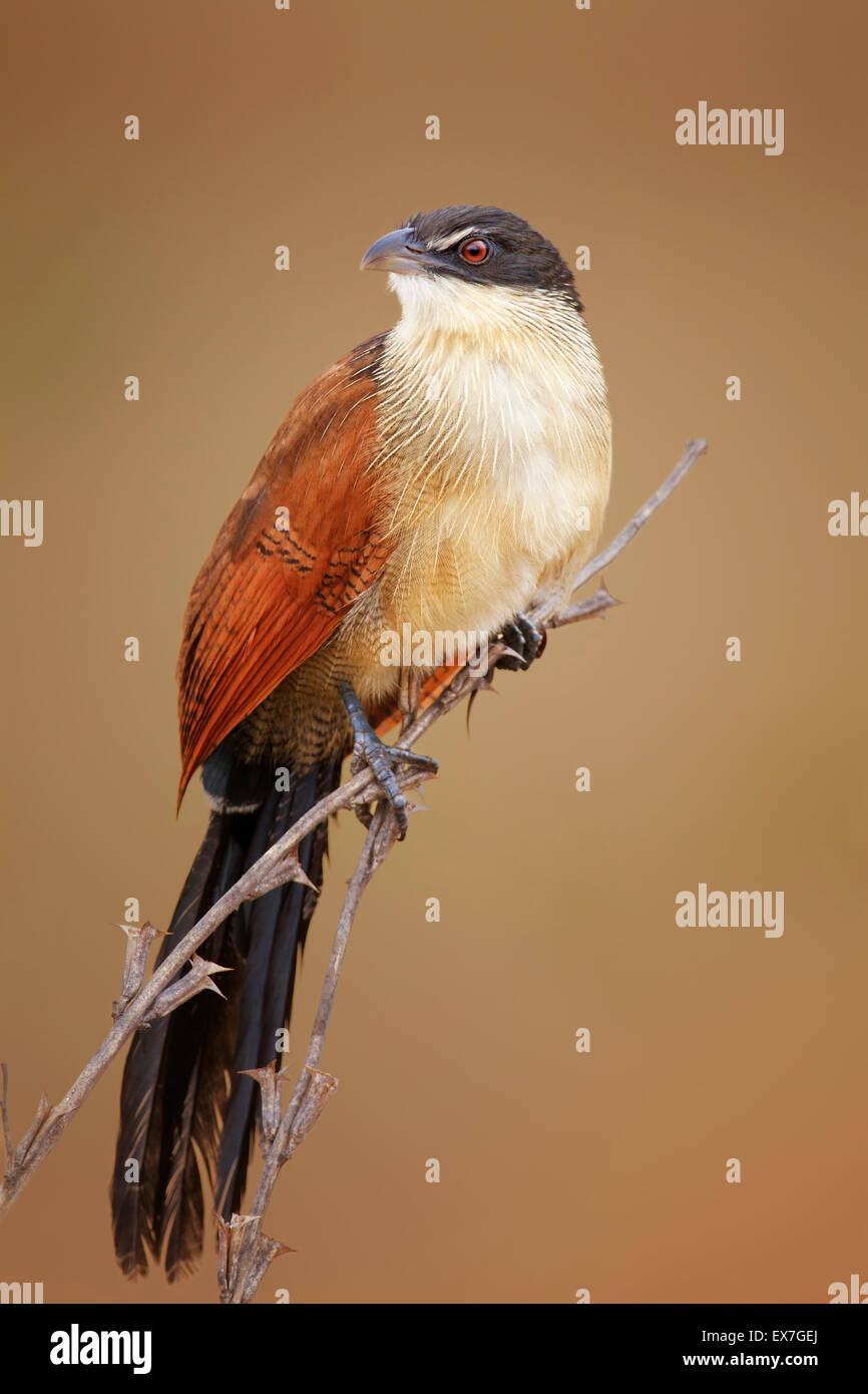 A burchell's coucal (Centropus burchellii) perched on thin branches - Kruger National Park (South Africa) - Stock Image