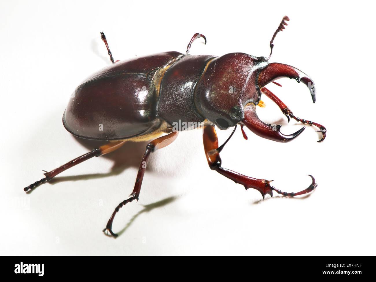 Lucanus capreolus, the reddish-brown stag beetle. - Stock Image