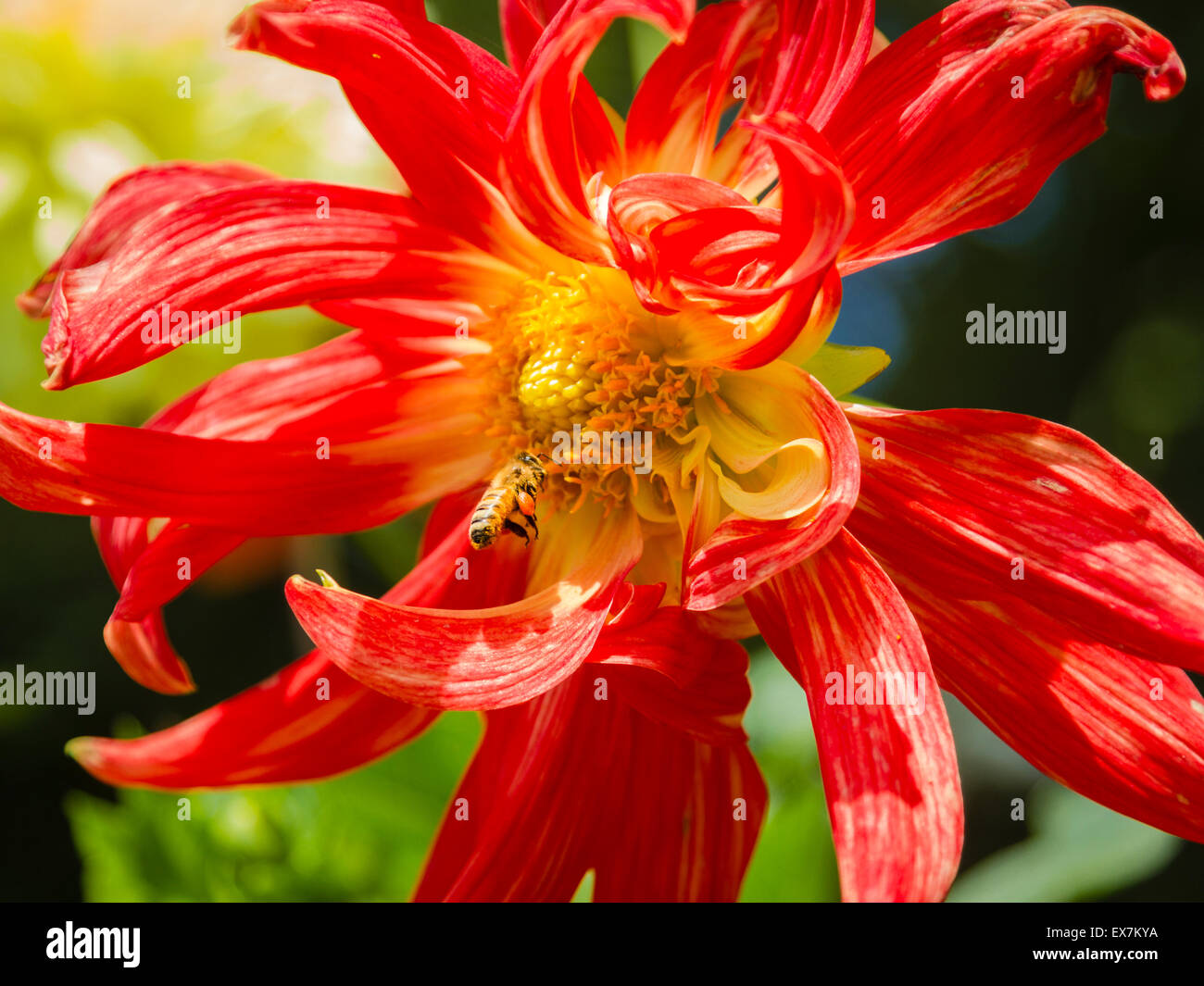 Honey bee pollinating a brilliant red and yellow dahlia with swirling petals - Stock Image
