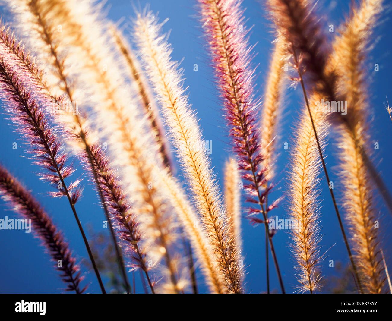 Purple fountain grass seeds glowing in the sun - Stock Image