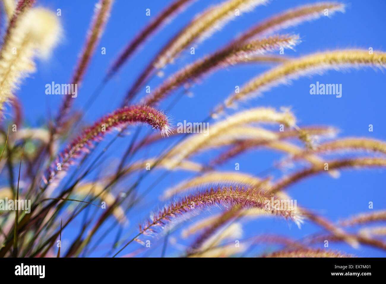Purple fountain grass gently waving in the breeze - Stock Image