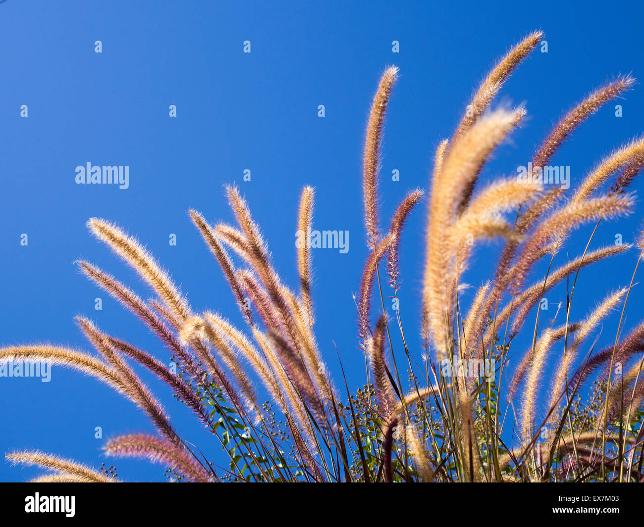Purple fountain grass waving in the breeze against clear blue sky - Stock Image