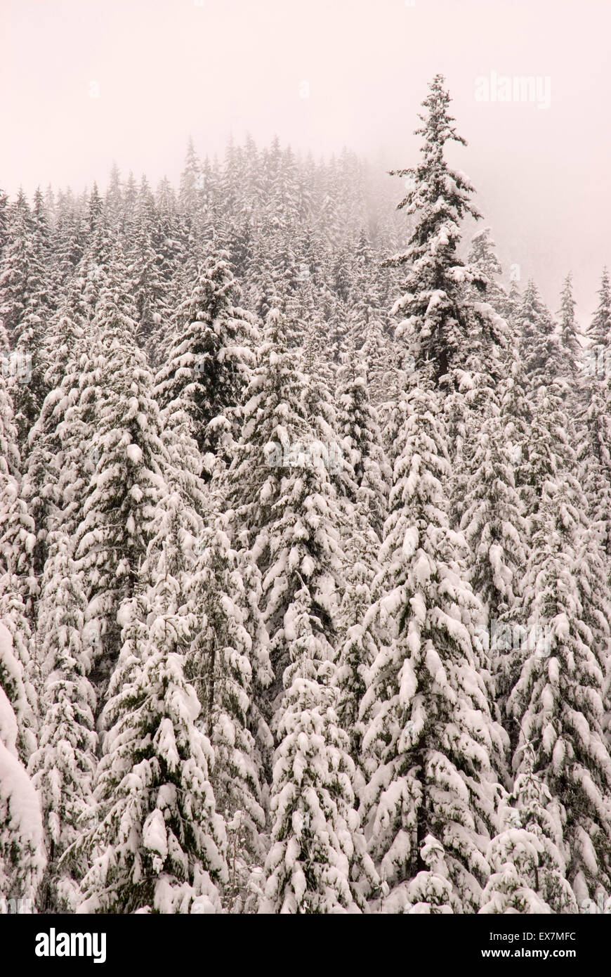 Winter forest near Flattop Sno-park, Gifford Pinchot National Forest, Washington - Stock Image