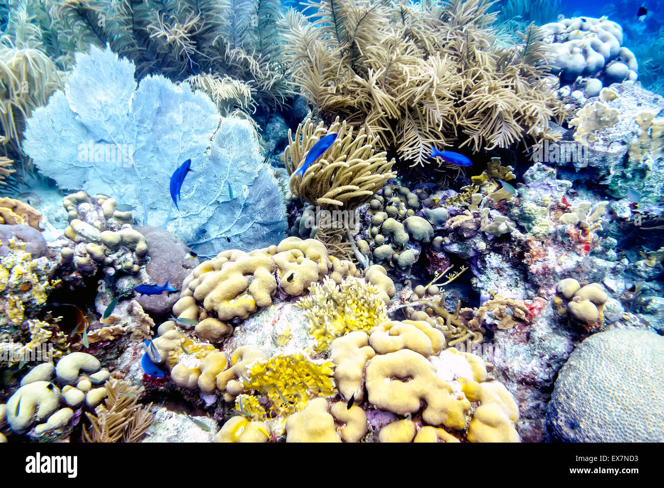 Blue Chromis swimming among Sea Fans, Sea Rods, Brain Corals and sponges at the Sharon's Serenity site in Klein - Stock Image