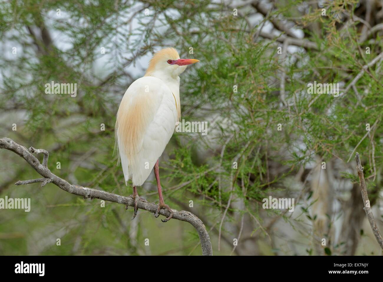 Cattle Egret Bubulcus ibis The Camargue southern France Stock Photo