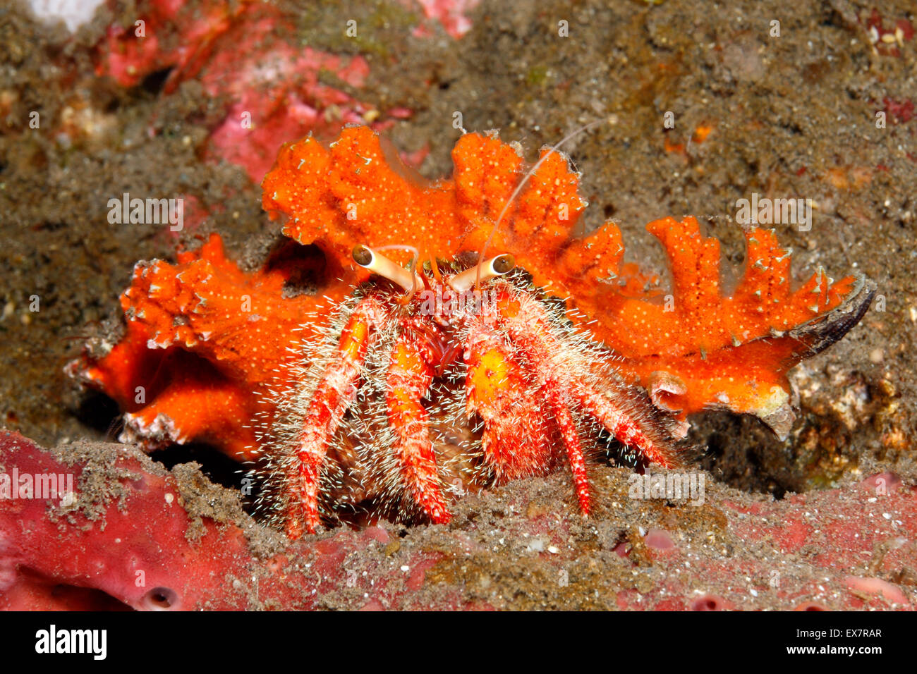 A marine hairy red hermit crab, Dardanus lagopdes. Tulamben, Bali, Indonesia. Bali Sea, Indian Ocean - Stock Image