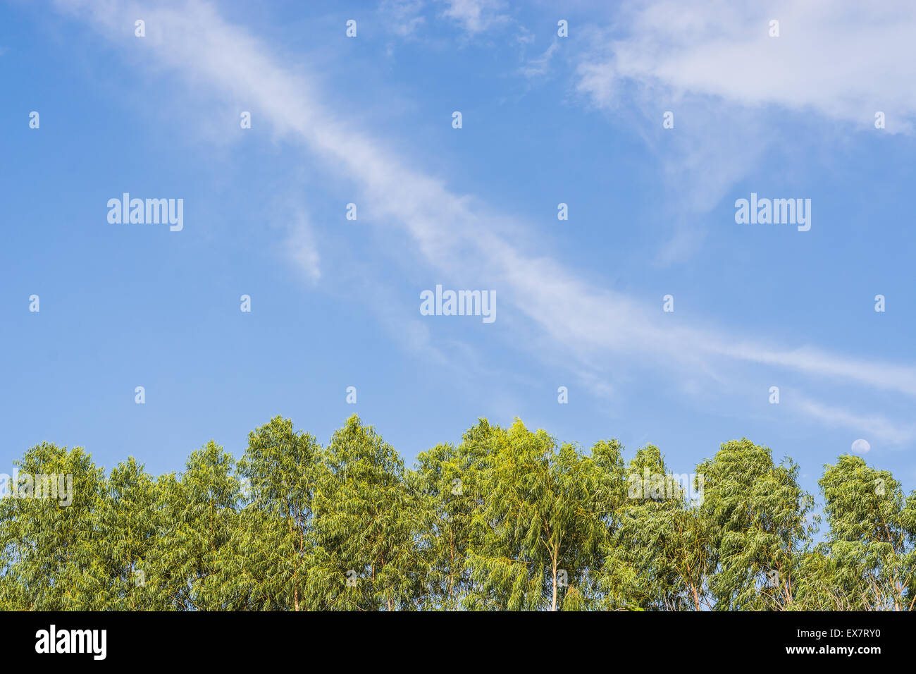 Natural scene of sky and eucalyptus tree in afternoon time - Stock Image