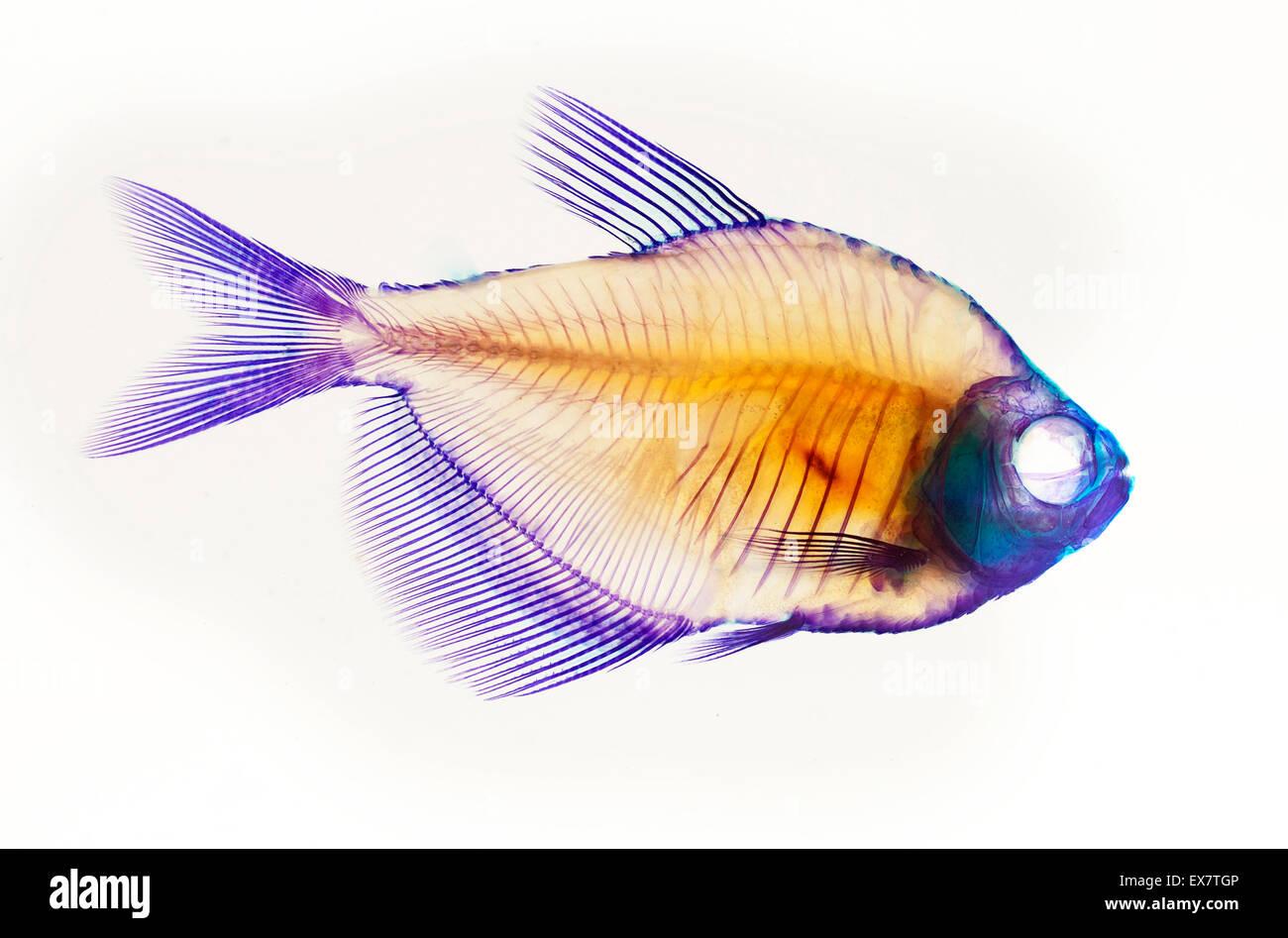 Fish Skeleton Anatomy Stock Photo 84995478 Alamy
