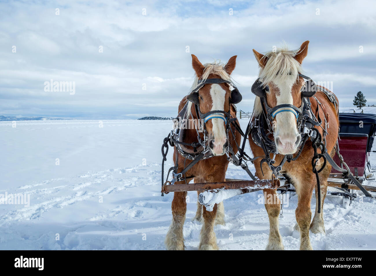 Sleigh with horses in wintertime, Bryce Canyon, Utah - Stock Image