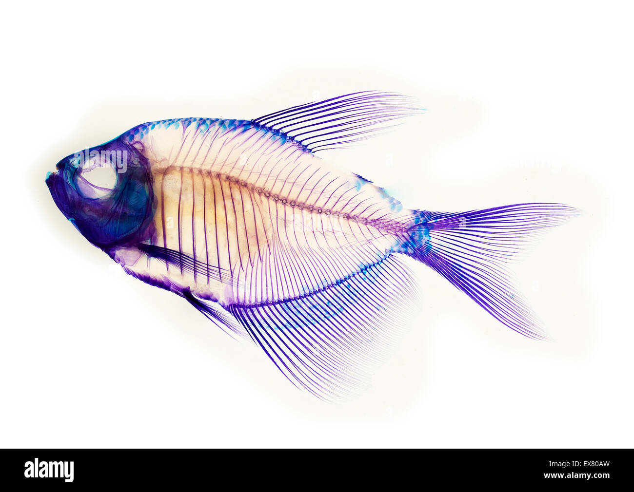 Fish Skeleton Anatomy Stock Photos & Fish Skeleton Anatomy Stock ...