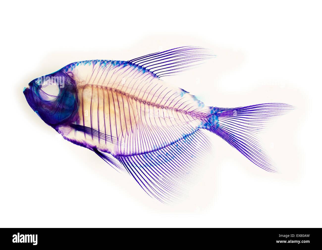 fish skeleton anatomy Stock Photo: 84998449 - Alamy