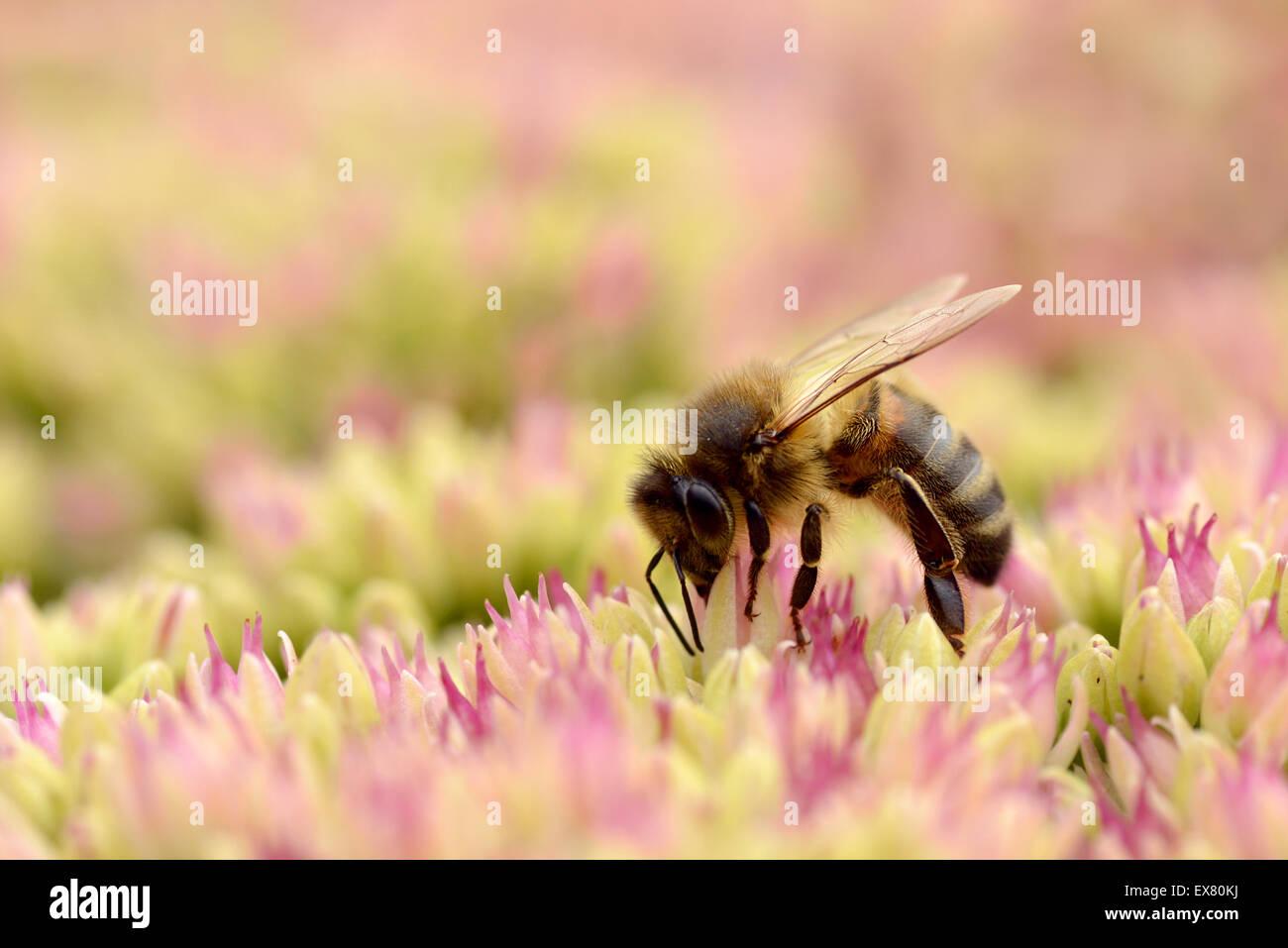 Honey bee feeding on sedum flower - Stock Image