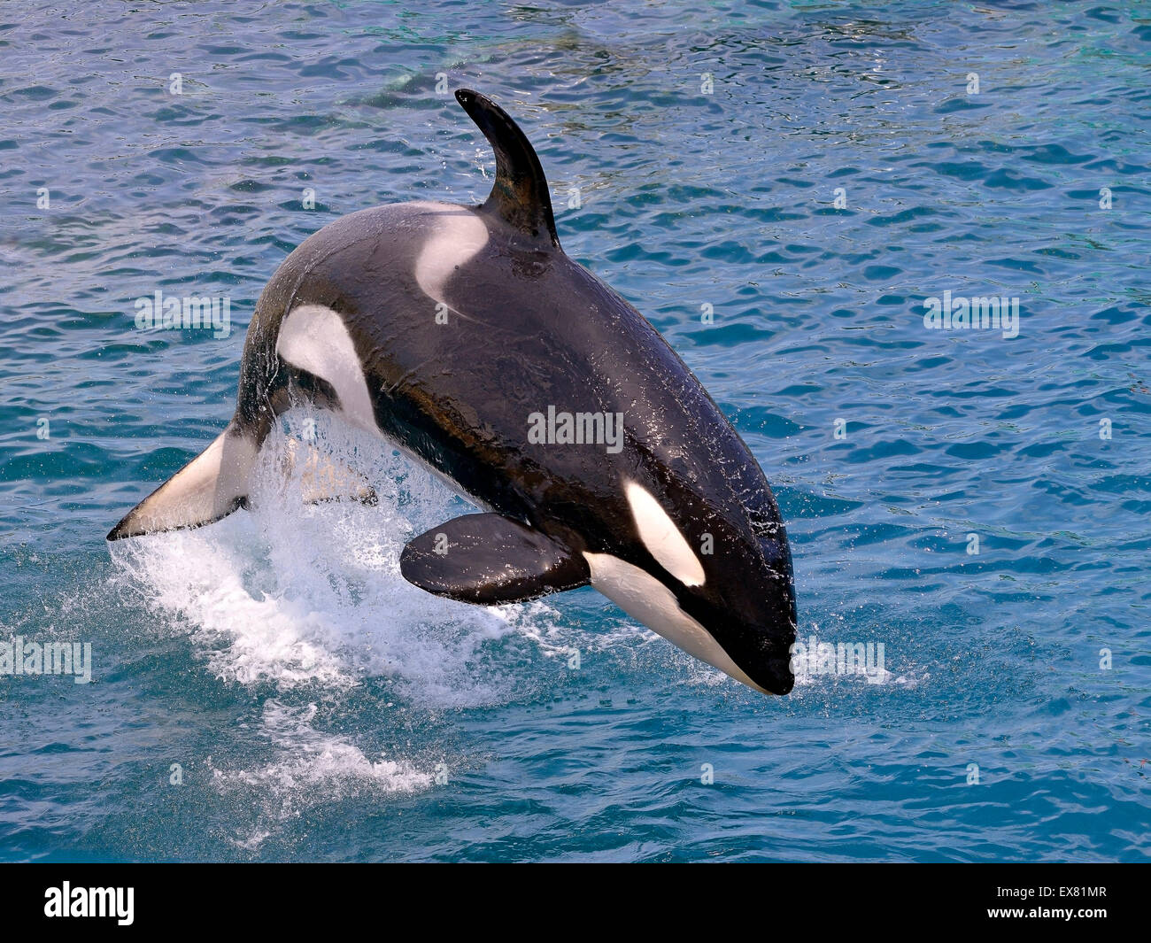 Killer whale jumping out of water - Stock Image