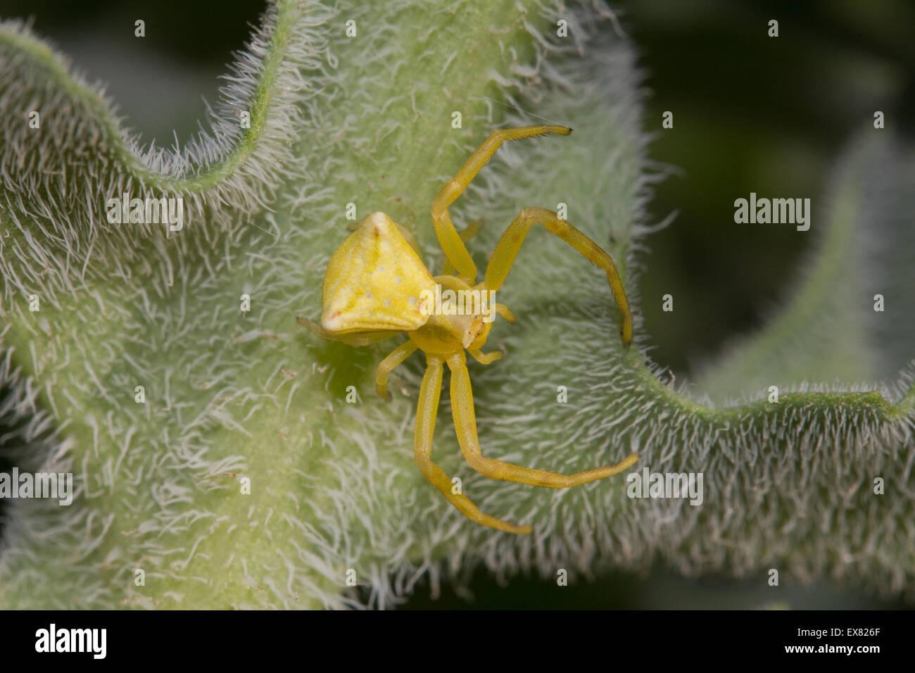Closeup of yellow crab spider (sp) Thomisus onustus, invertebrate waiting in ambush on a leaf. Lemnos/ Limnos island, - Stock Image