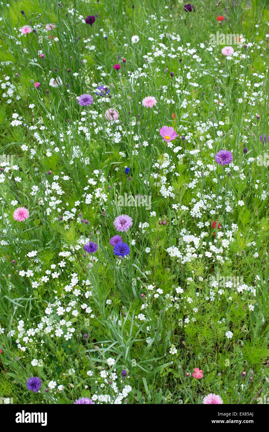 Wildflowers. Annual meadow flowers including cornflowers, poppies and false bishops weed Stock Photo