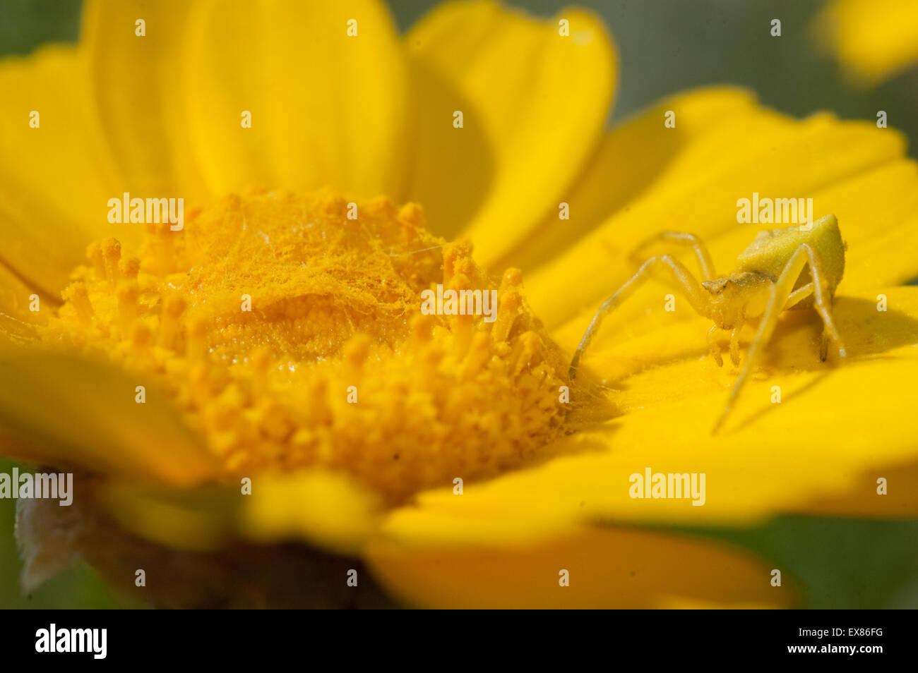 Yellow crab spider (sp) Thomisus onustus, invertebrate lurking in ambush on a yellow daisy. Lemnos/ Limnos island, - Stock Image
