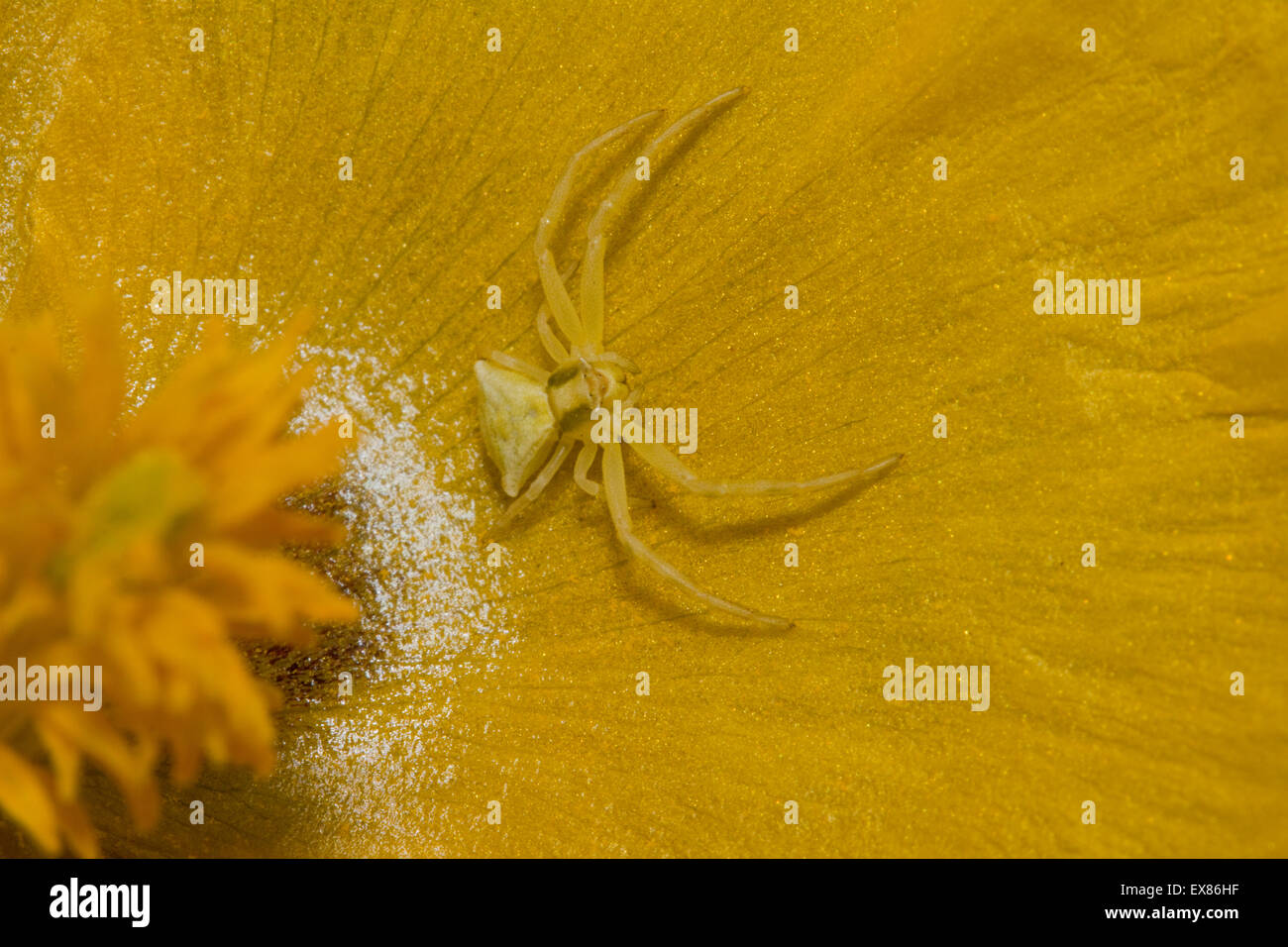 Yellow crab spider (sp) Thomisus onustus, invertebrate lurking in ambush on a yellow hornpoppy. Lemnos/ Limnos island, - Stock Image