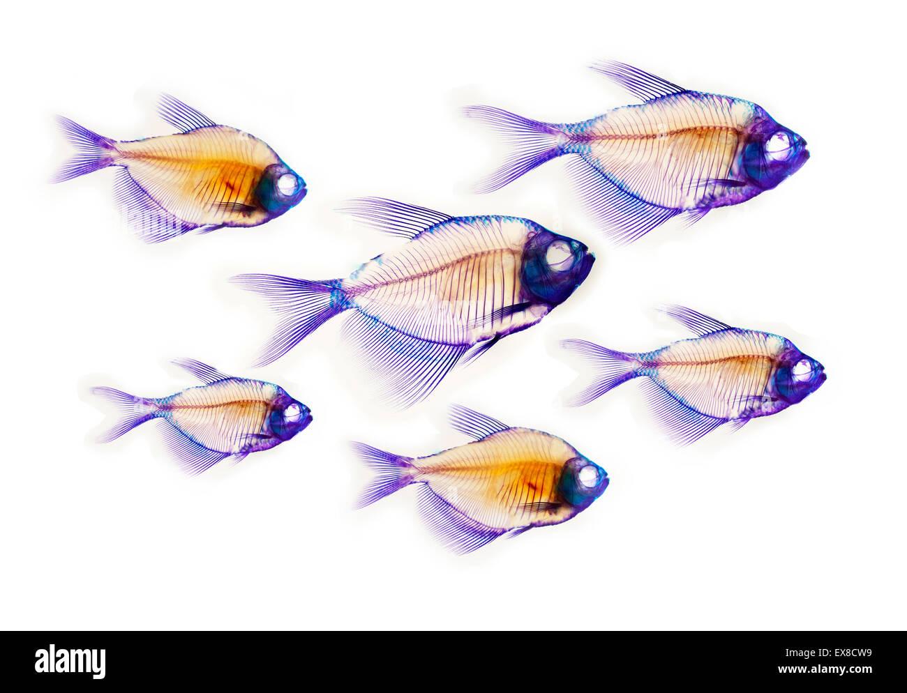 Fish Skeleton Anatomy Stock Photos & Fish Skeleton Anatomy Stock ...