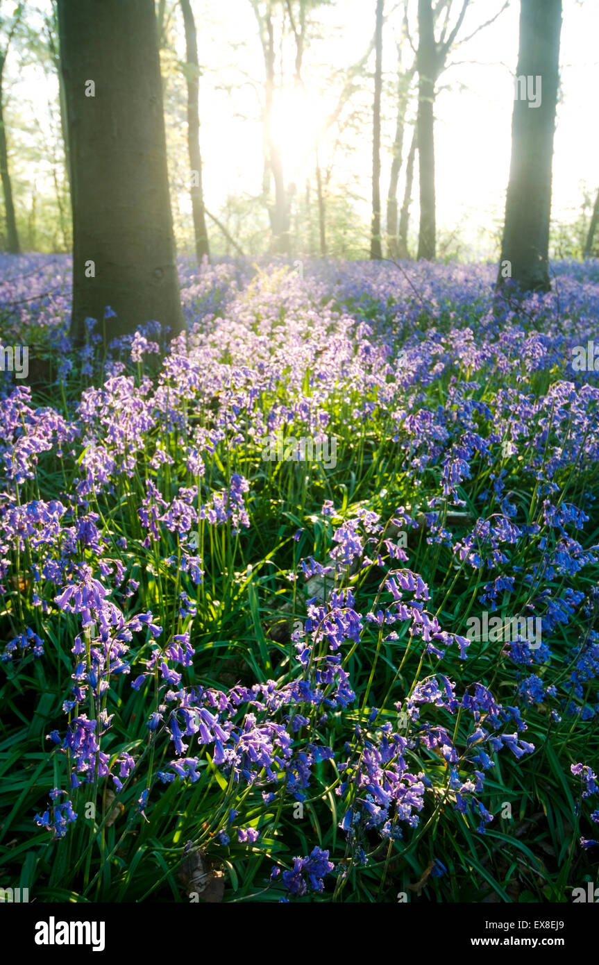 Bluebell (Endymion non-scriptus) in beechwood at sunrise, Kent, England - Stock Image