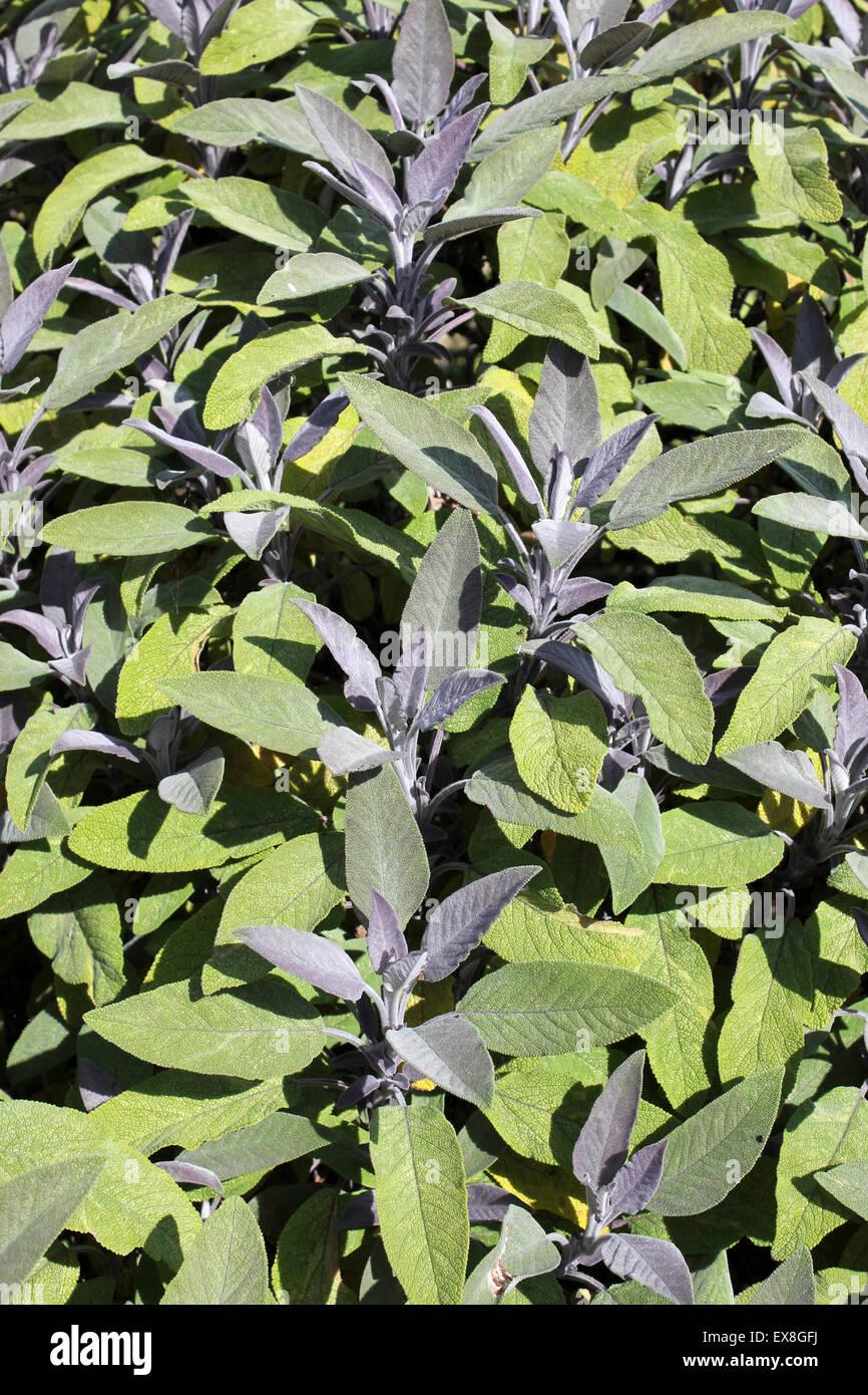 Purple Sage Salvia officinalis 'Purpurascens' - Stock Image