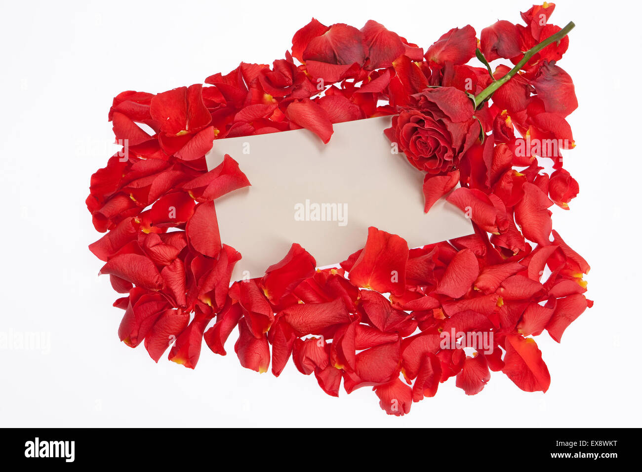 rose petal red flower nobody group objects backgrounds large head ...
