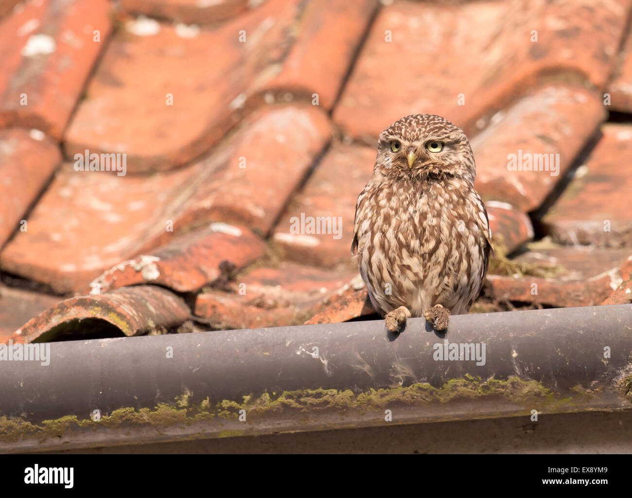 Adult Little Owl (Athene noctua) perched on roof guttering of farmhouse Stock Photo