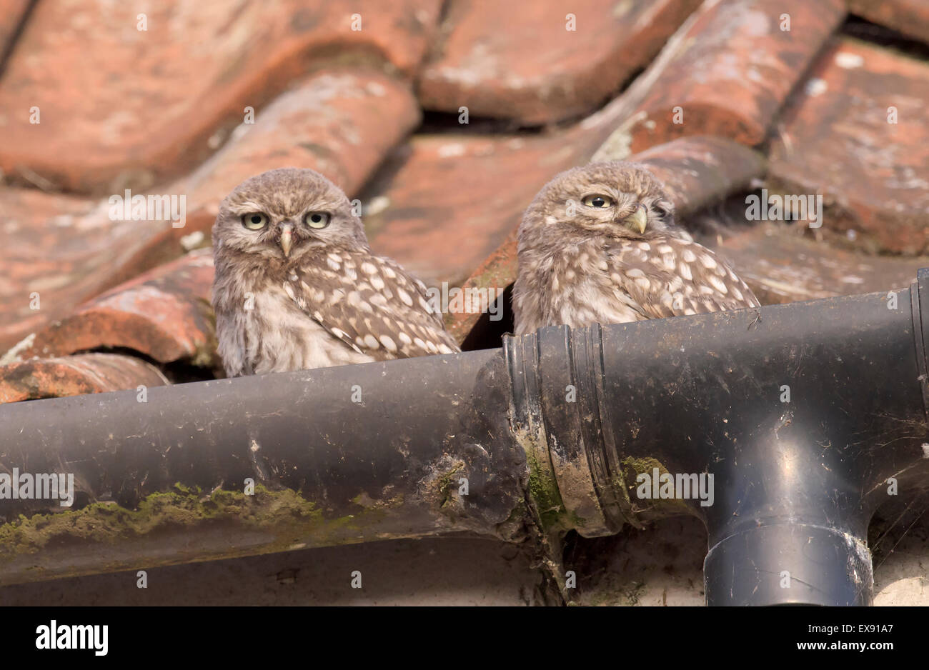 Two Cute Little Owl fledglings (Athene noctua) sitting in roof guttering of farmhouse - Stock Image
