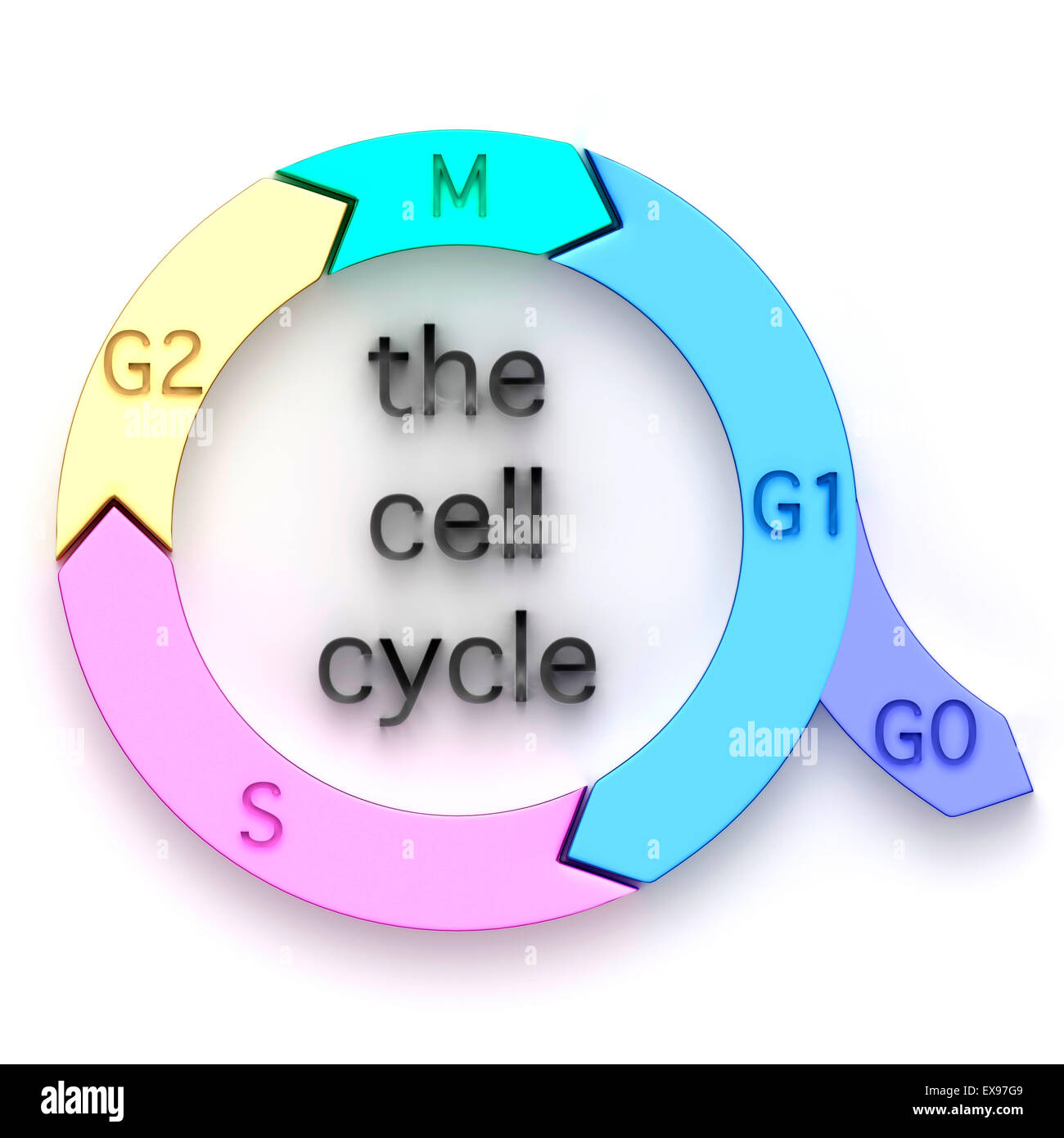 Illustration of the cell cycle. - Stock Image