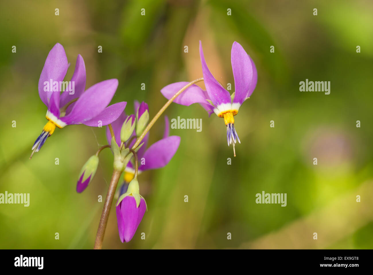 A cluster of saline shooting stars, Dodecatheon pulchellum, growing in a calcareous bog, Wagner Bog, Alberta - Stock Image