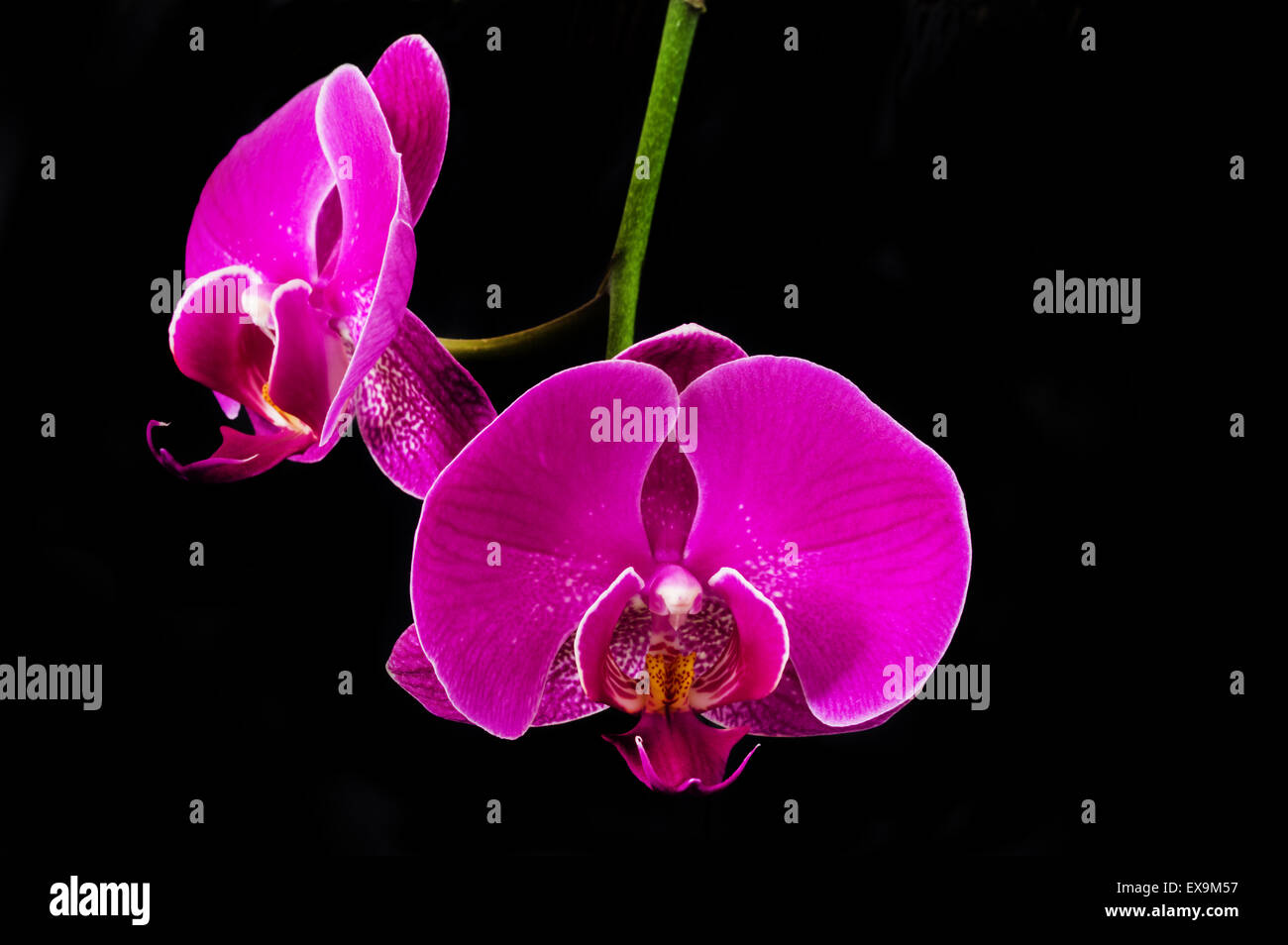 purple pink orchid flowers with black background - Stock Image