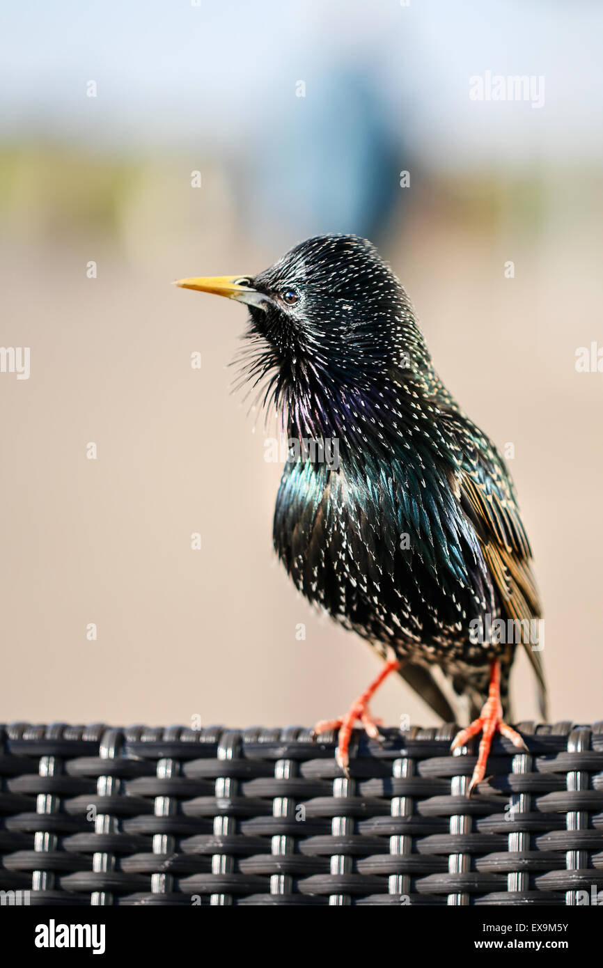 A starling perched on the back of a rattan chair - Stock Image