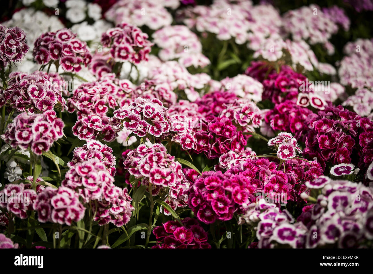 A bed of Sweet William flowers Dianthus barbarous in a garden in Cornwall. - Stock Image
