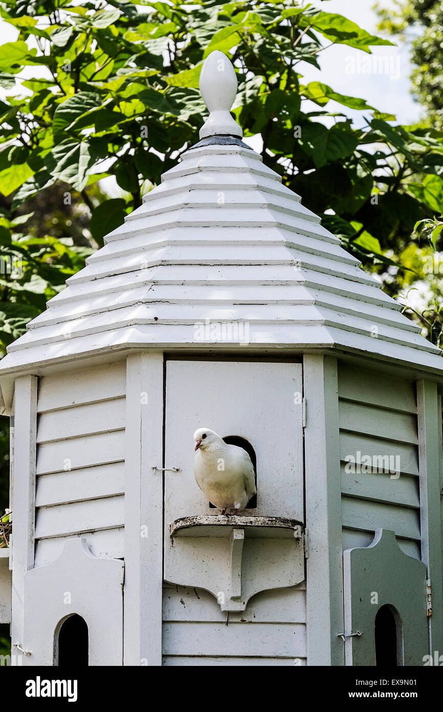 A dove in a dovecote in the Lost Gardens of Heligan in Cornwall. - Stock Image