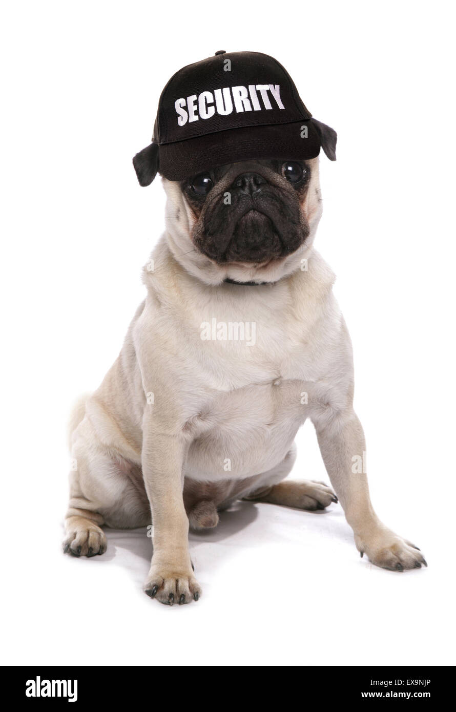 guard dog pug studio cutout - Stock Image