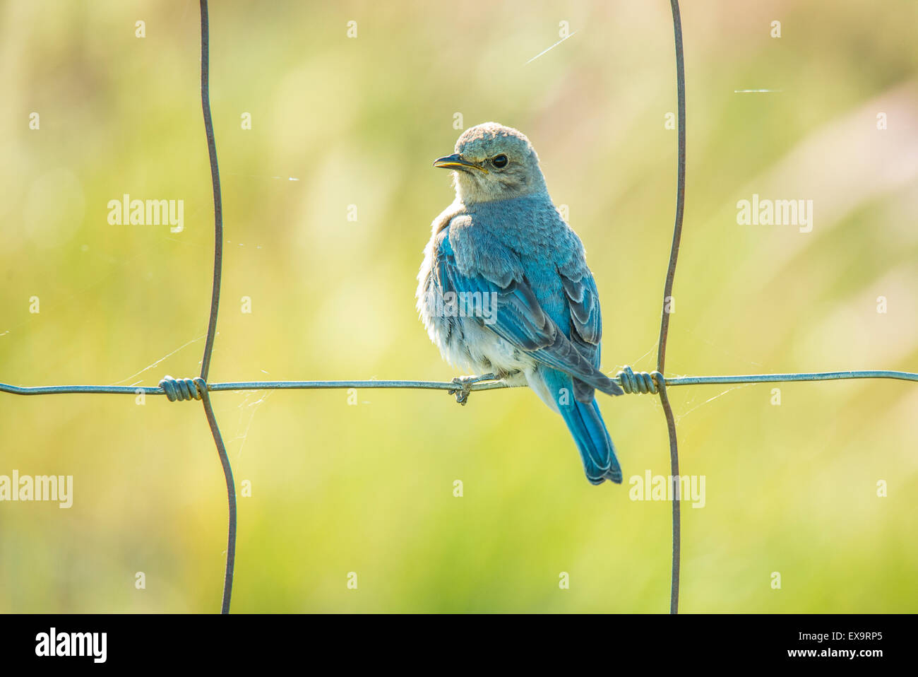 Birds, Mountain Blue Bird, Young fledgling Blue Bird perched on fence after leaving nest-box Idaho State bird, Idaho, - Stock Image
