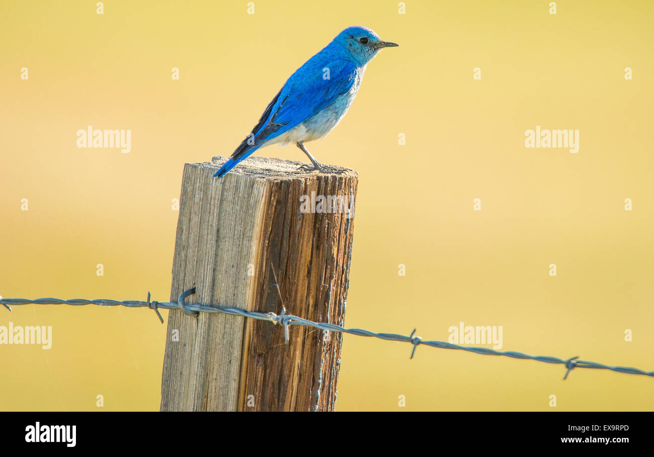 Birds, Mountain Blue Bird perched on a fence post,Idaho State Bird, Idaho, USA - Stock Image
