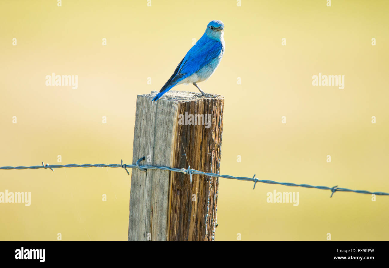Birds, Male Mountain Blue Bird perched on a fence and post, Idaho State Bird, Idaho, USA - Stock Image